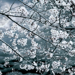 Morishita KAZZ_1_Cherry-Blossom Night Viewing